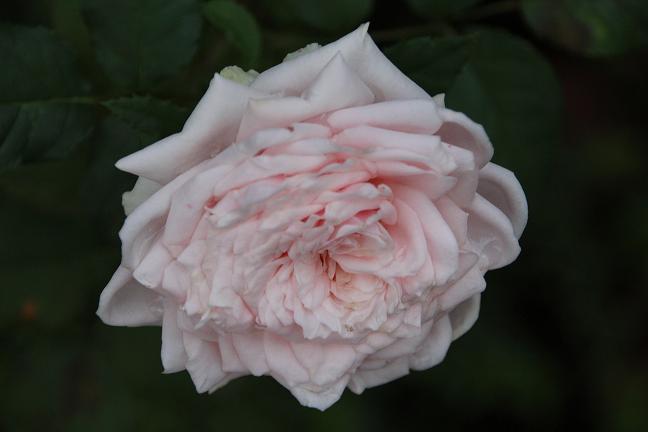 Rose_geöffnet